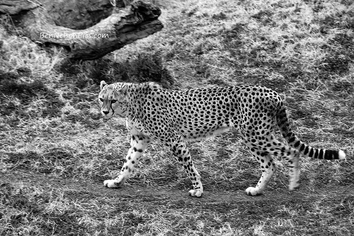 Animals - Black And White Photo of a Cheetah Walking A Trail