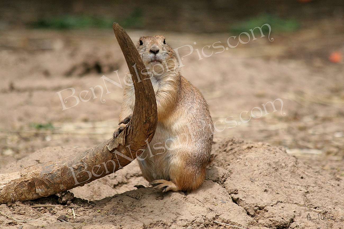 Animals - A Photograph Of A Groundhog Leaning