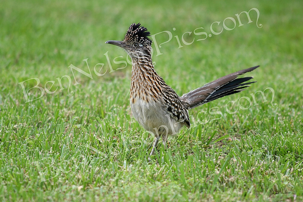 Animals - A photo Of A Road Runner in Springfield Missouri